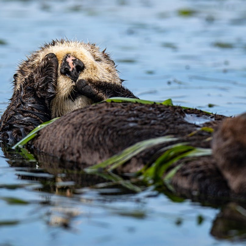 A California sea otter recuperating its energy at Elkhorn Slough.