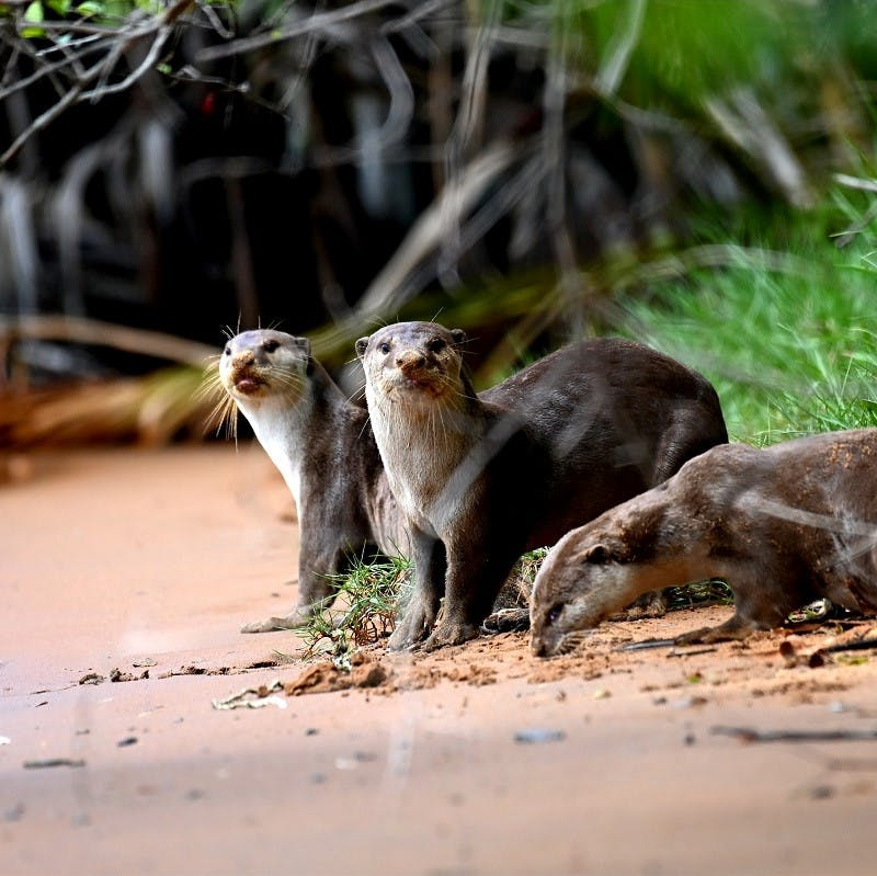 Smooth-coated otter huddle together in a natural space in Singapore, a benefit of rewilding in cities.