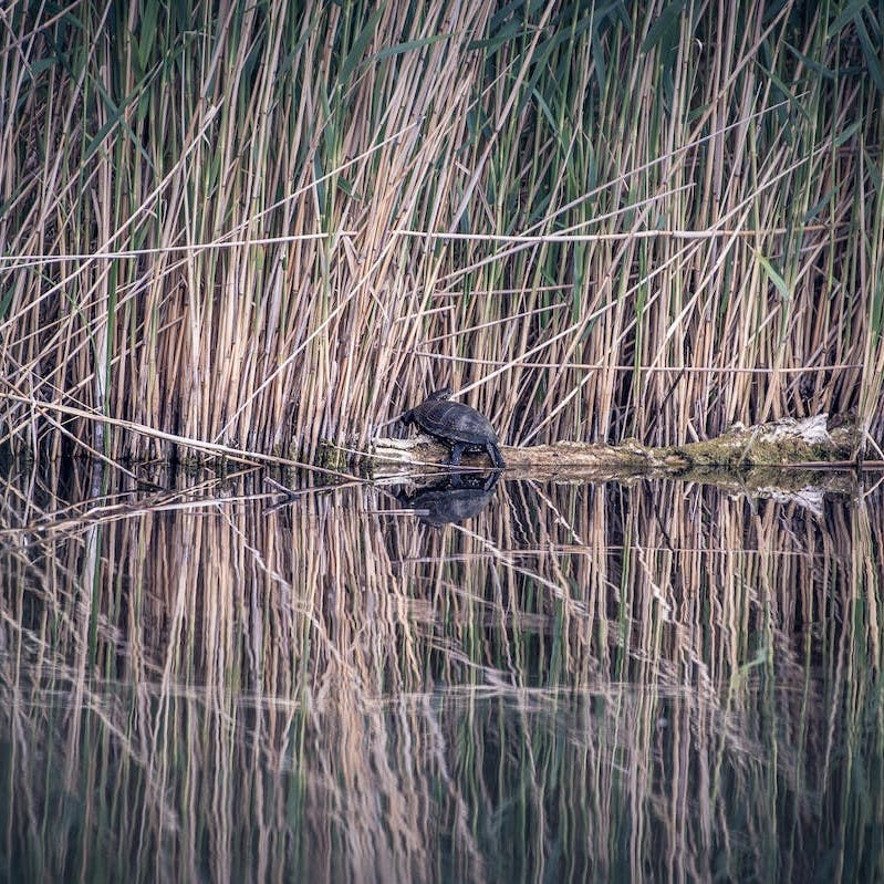 A turtle on a rock in a river next to long grasses. It is such habitats that conservation efforts in Europe are trying to protect.