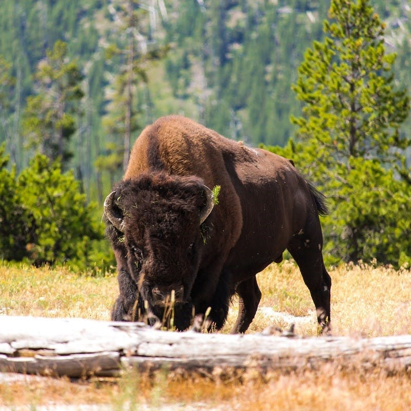 A bison stands in the prairie against a backdrop of conifer trees. Rewilding Europe have recently reintroduced Bison in Europe to help naturally engineer the landscape.