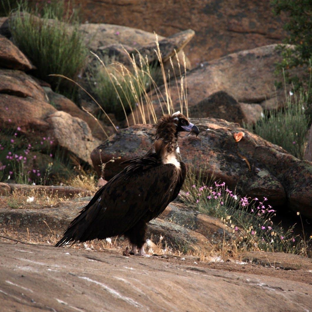 A black vulture a top a crop of granite rocks.
