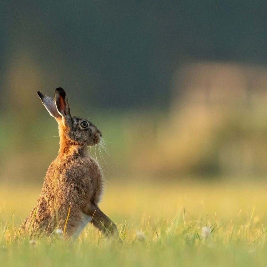In a field of grass, a rabbit stands erect.