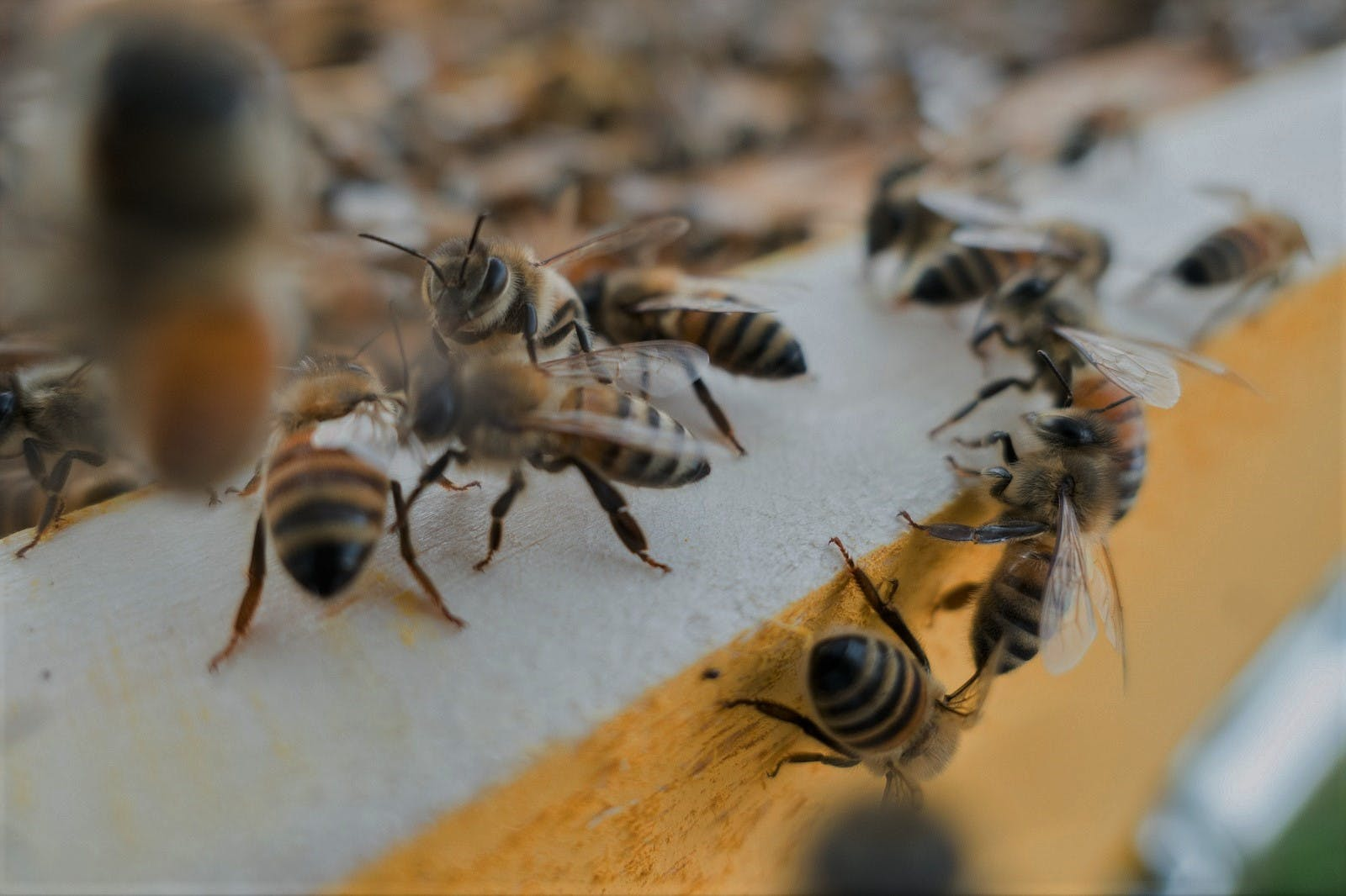 A close up photograph of honey bees returning to their hive.