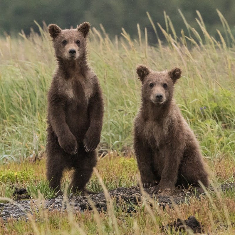 Two young brown bears, one standing and the other sitting, stare into the distance.