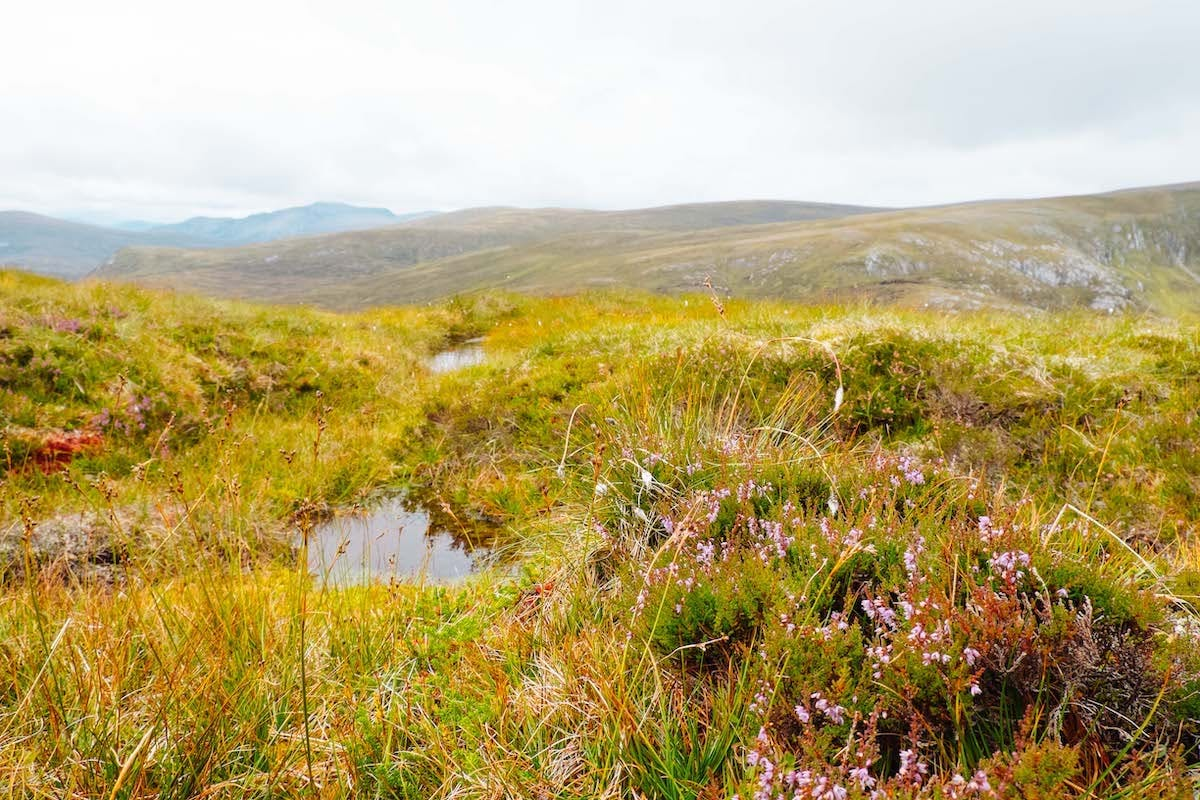 Pink heather blooms against a backdrop of yellow vegetation
