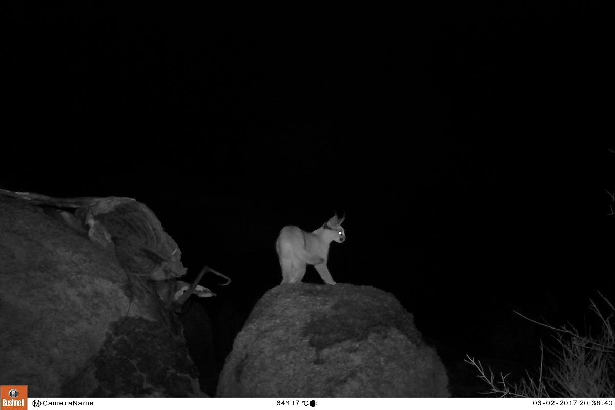 A camera trap photo in night vision of a caracal on a rock. Mossy earth's rewilding project in Namibia is supporting this animal.