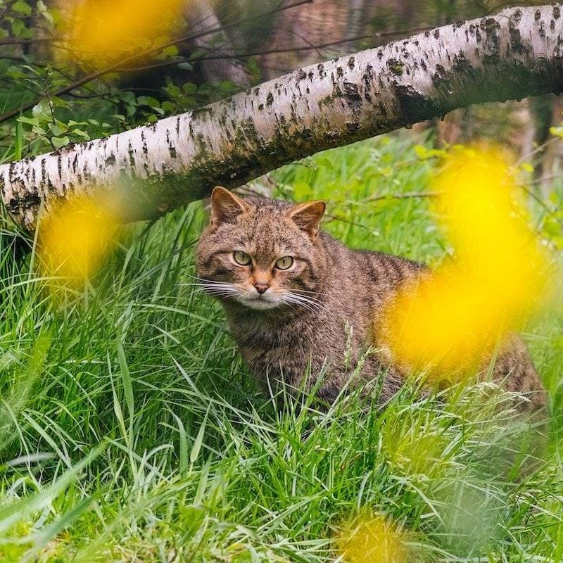 A Scottish wildcat (Felis silvestris) at the breeding facility at Alladale Wilderness Reserve