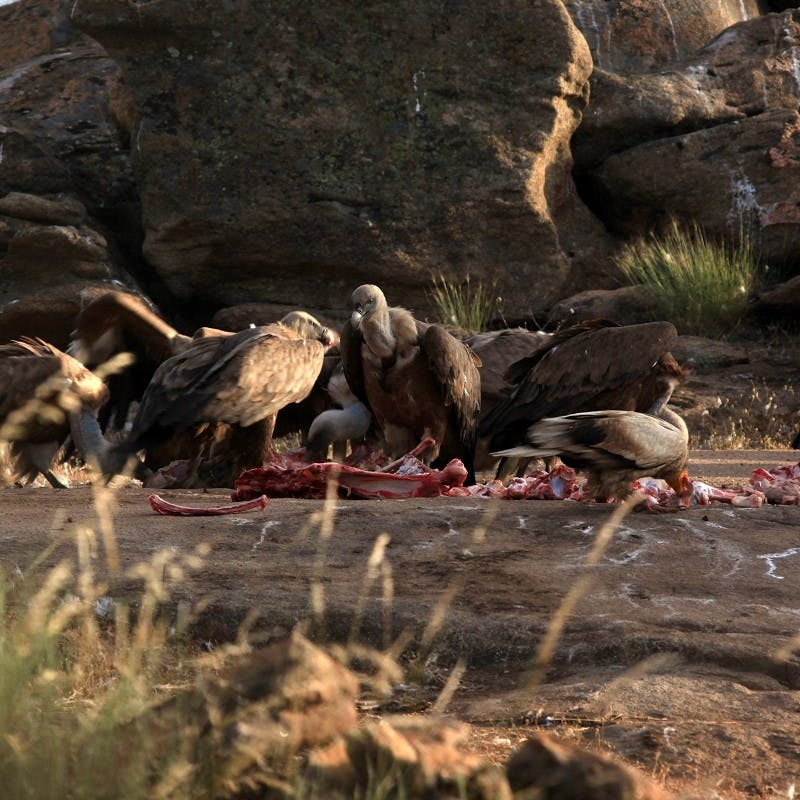 A committee of Griffon vultures feeding.