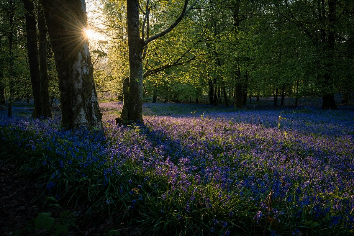 A bluebell woodland in England.