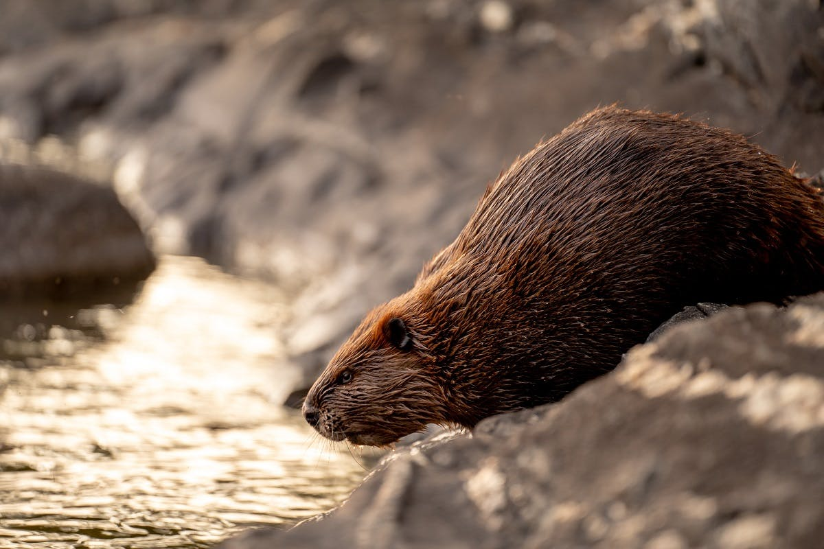 A beaver entering a river. The beaver is an exemplary reason for rewilding