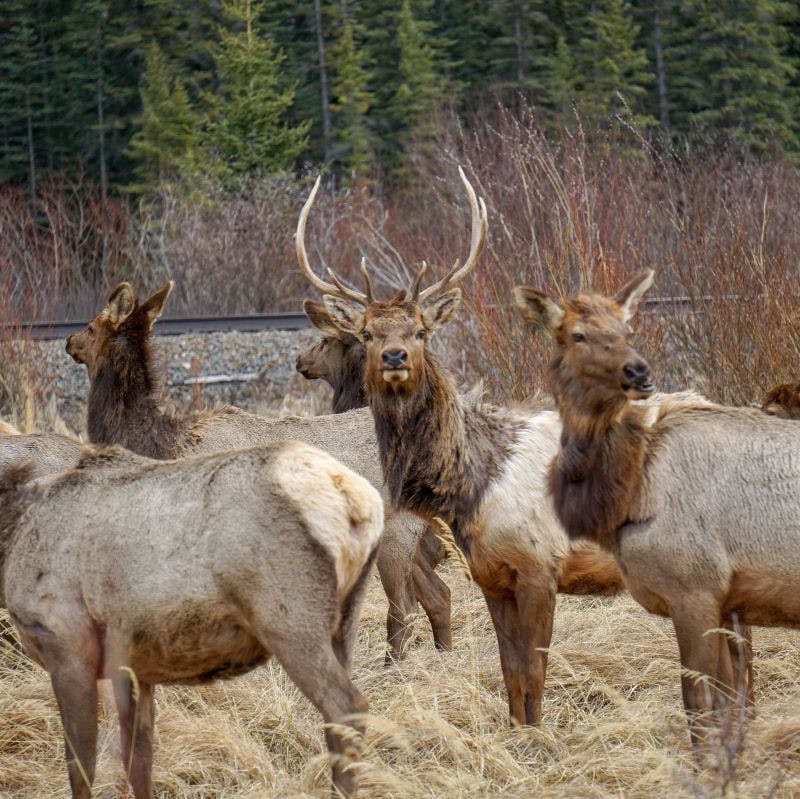 A gang of elk pass by a railway near a forest. Wildlife corridors offer them safe passage.