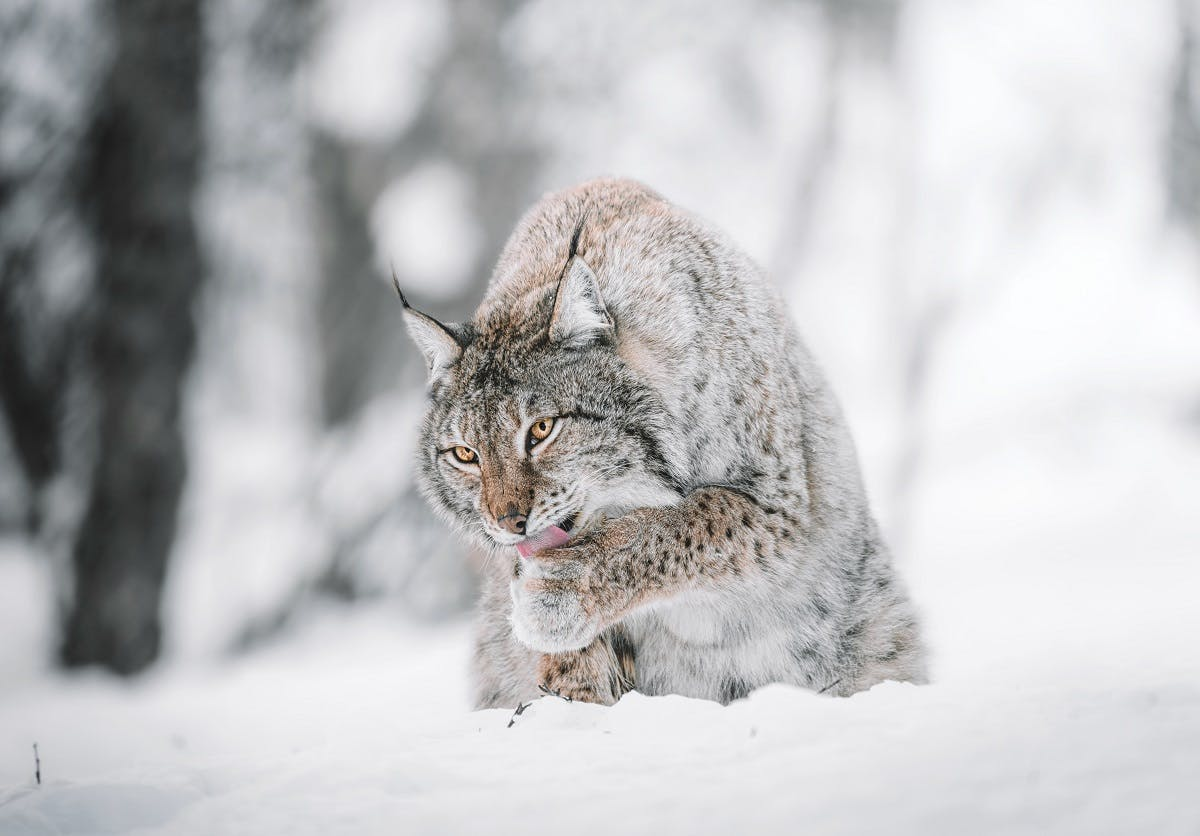 A lynx licking its paw in the snow. George Monbiot's Feral supports the reintroduction of lynx to Britain