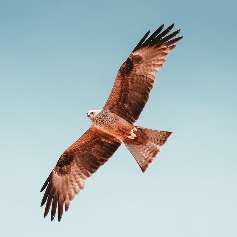 A hawk in flight spanning its wings.