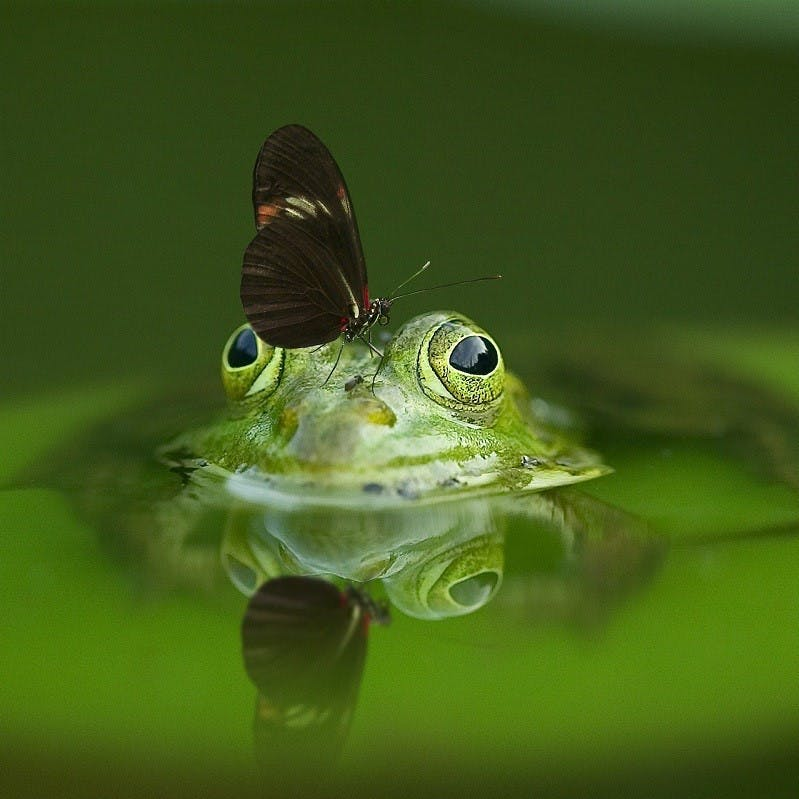 A frog in a pond with a butterfly on its head. Attracting such wildlife is a sign you're on the right path to rewilding your garden.