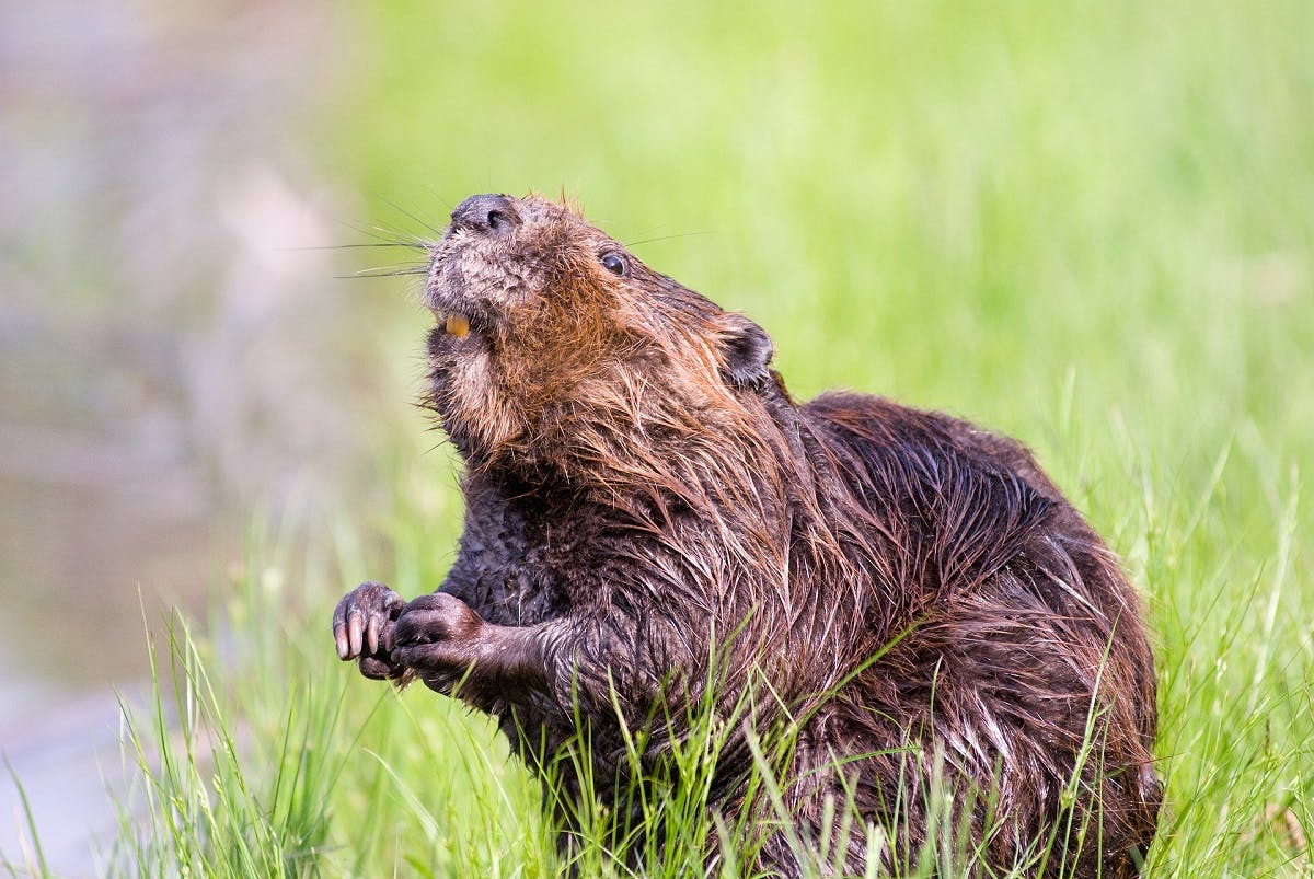 Beavers provide salmon with shelter they cannot find elsewhere, which is just one of the positive tropic cascade effects beavers can have.