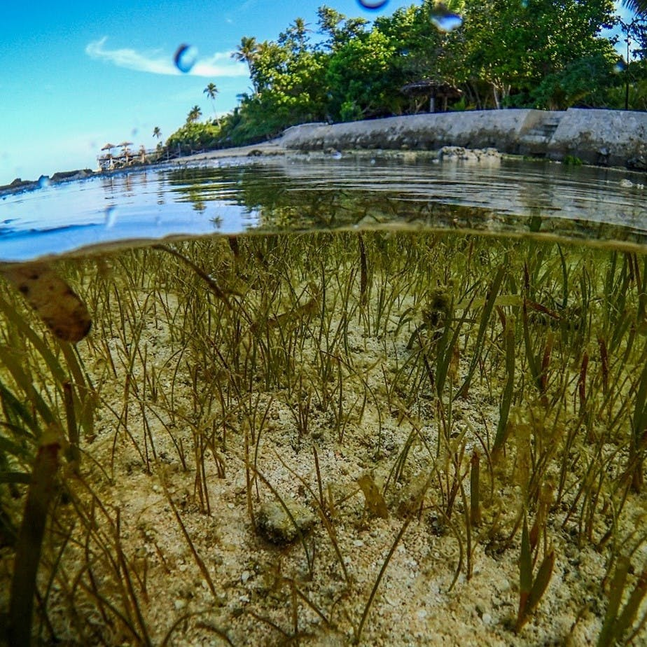 A beautiful above and below the water image of seagrass. Seagrass has recently been recognised for its significant potential in mitigating climate change