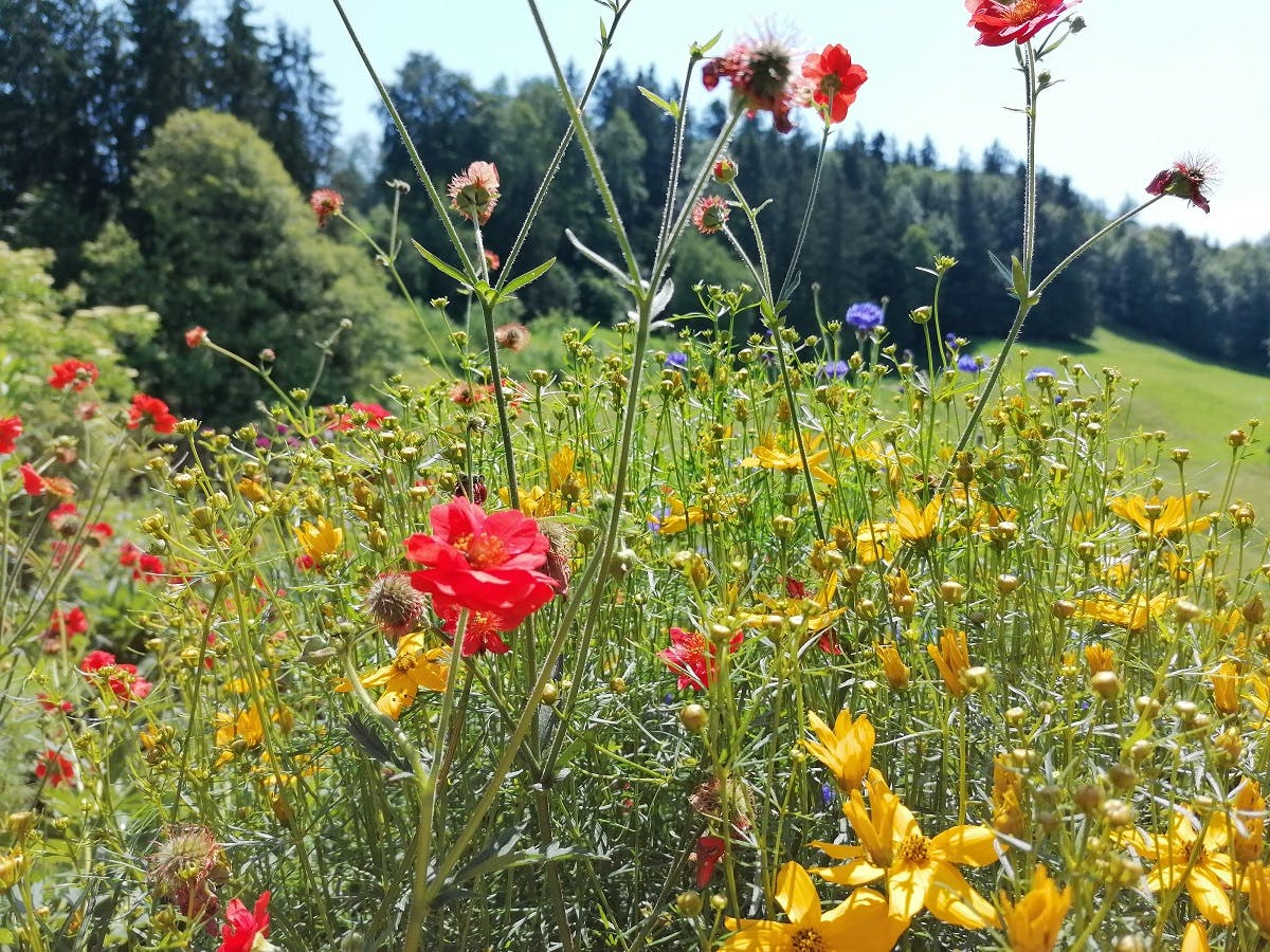 A garden full of wildflowers.  Growing a wildlife-friendly garden of native wildflowers is an easy first step to Small Scale Rewilding.