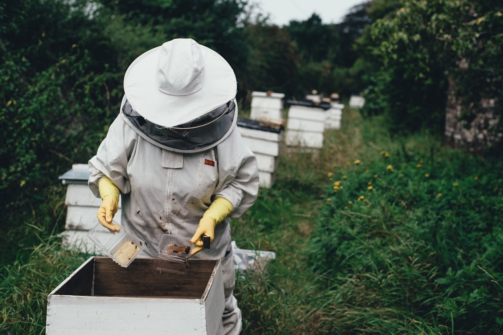 A beekeeper checking a hive. Sponsoring a beehive is another easy yet effective way to help save the bees from bee extinction.