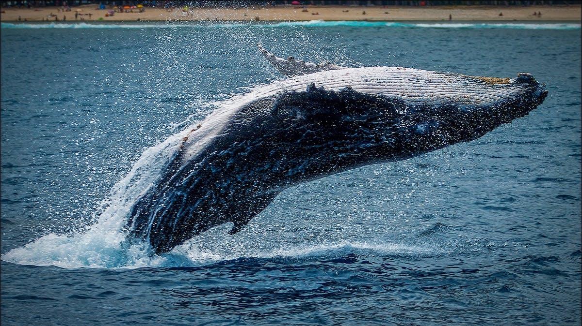 A whale breaching near a beach.