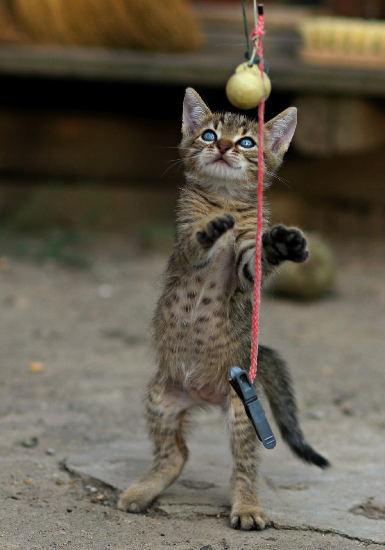 A cat up on its hind legs playing with a ball on a string.