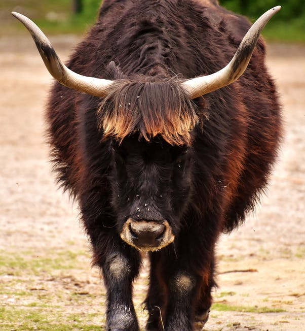 A Tauros/Auroch, a super cow from the past, playing a crucial role in rewilding across Europe