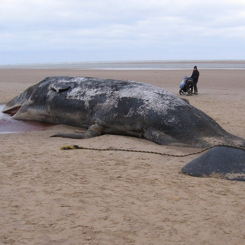 A dead sperm whale on a beach with a man and pram looking on.