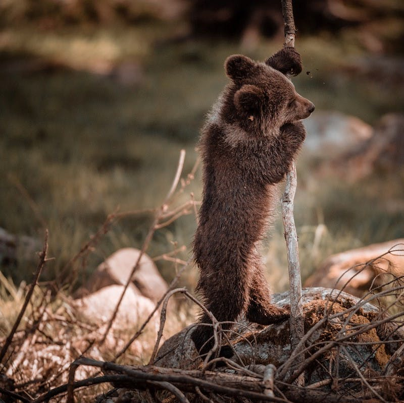 A brown bear cub standing and holding onto a branch.