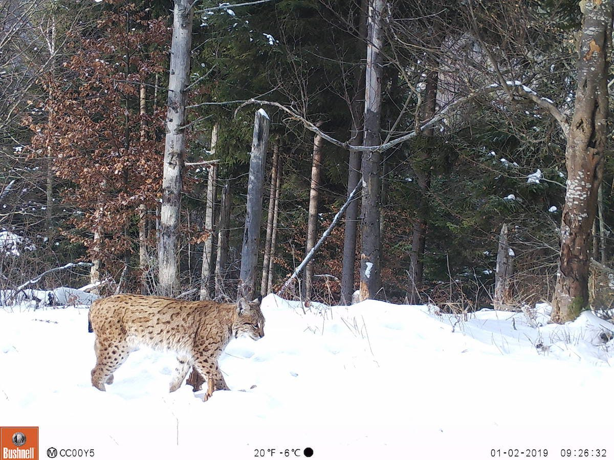 A camera trap captures a Eurasian lynx walking through a snowy trail in the forest