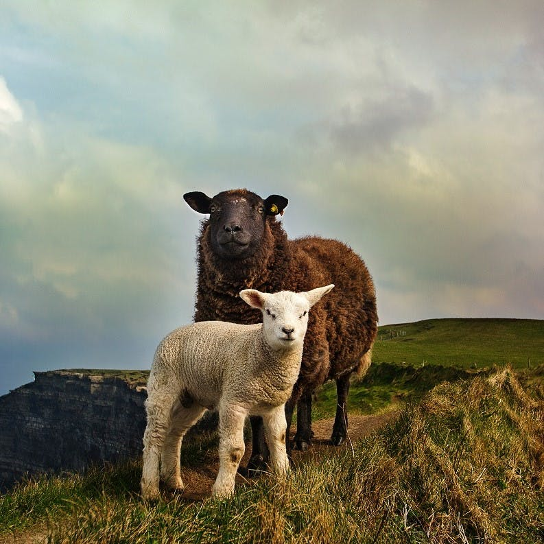 Two sheep stood atop a grassy hill in Ireland. With such a reliance on animal agriculture it is difficult to picture a rewilded Ireland