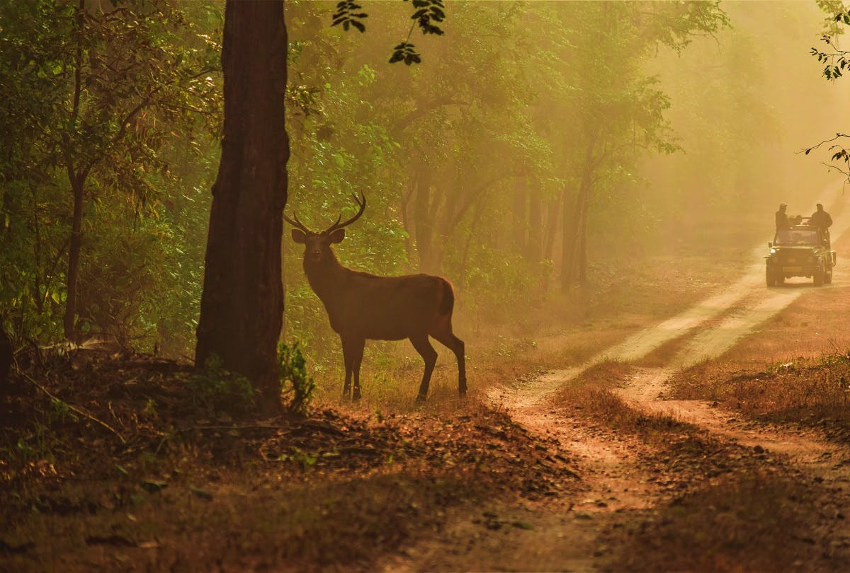 Nature based tourism in India. A jeep with tourists passing a deer in the forest
