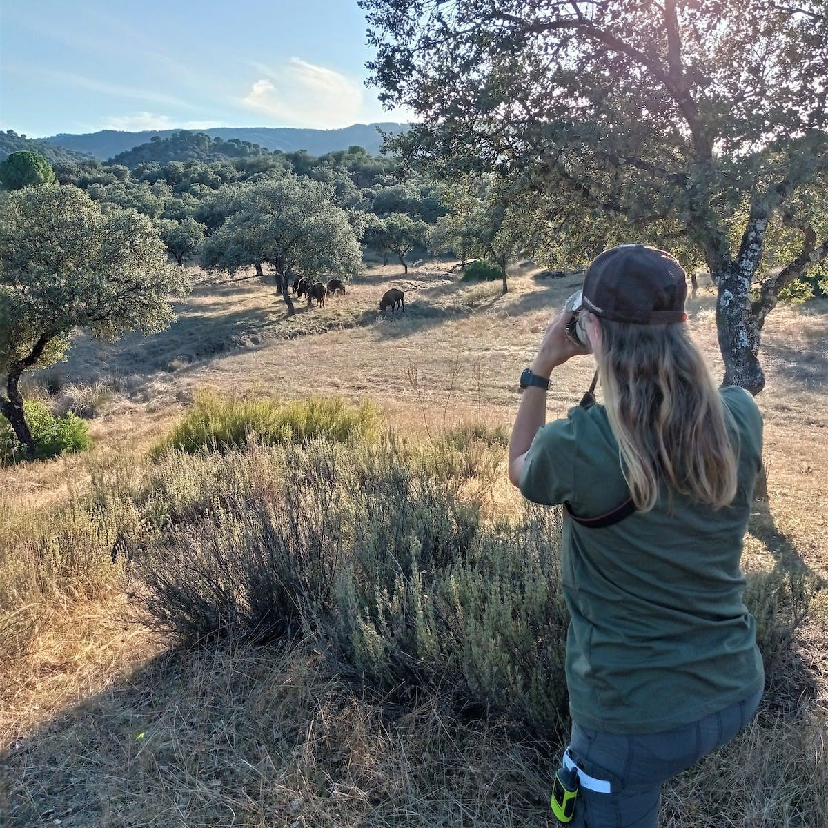 A scientist stands in the right of the image observing bison in the distance among scattered trees.