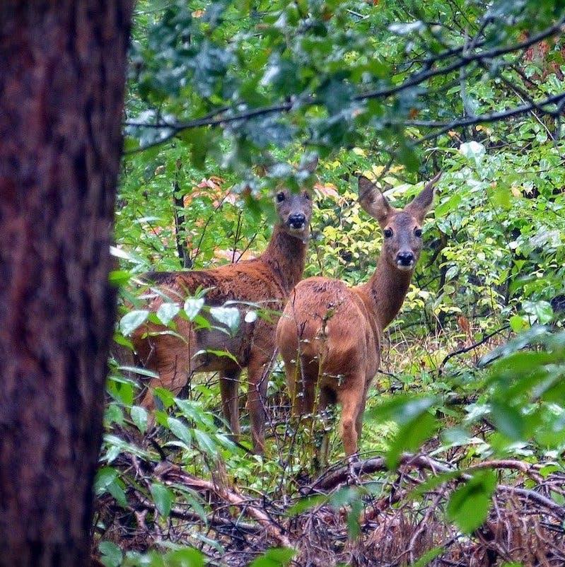 Two roe deer stand amongst dense green vegetation