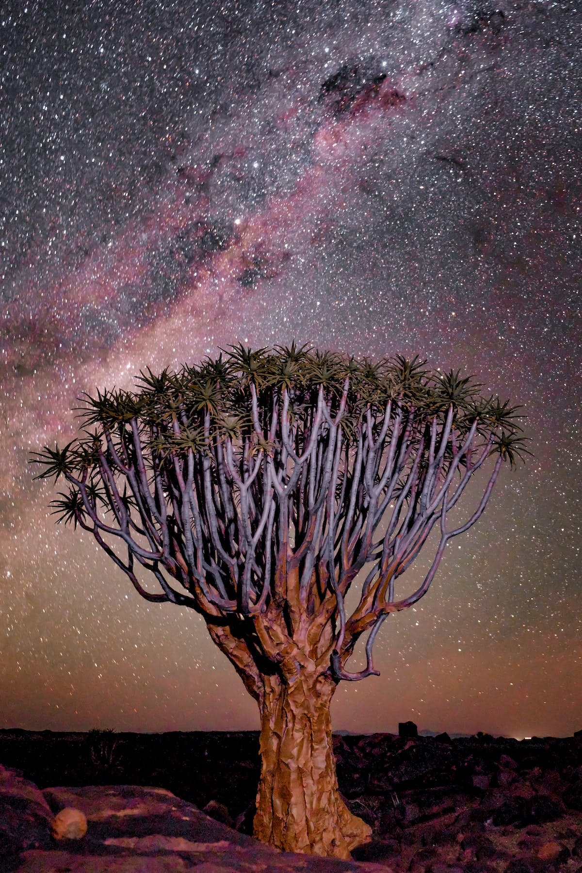 A quiver tree against the night sky with the milky way clearly visible