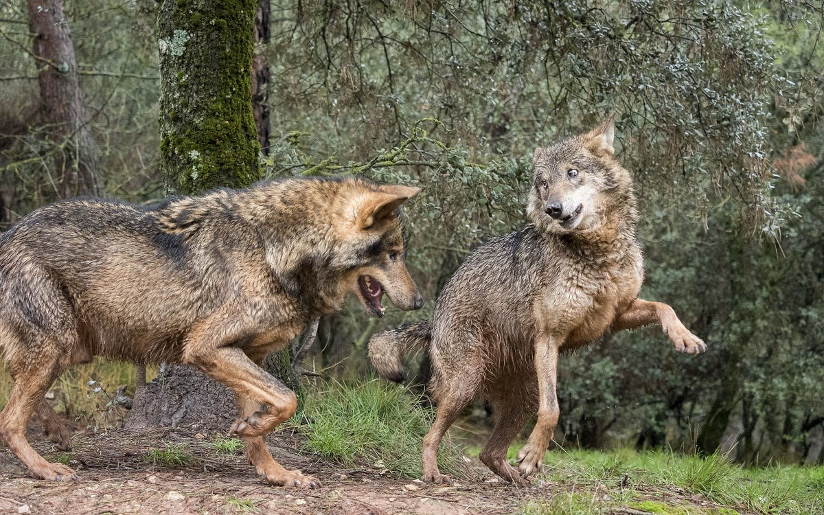 Two Iberian wolves playing in Spanish mountains ...can we expect to see such wolves in Ireland anytime soon?