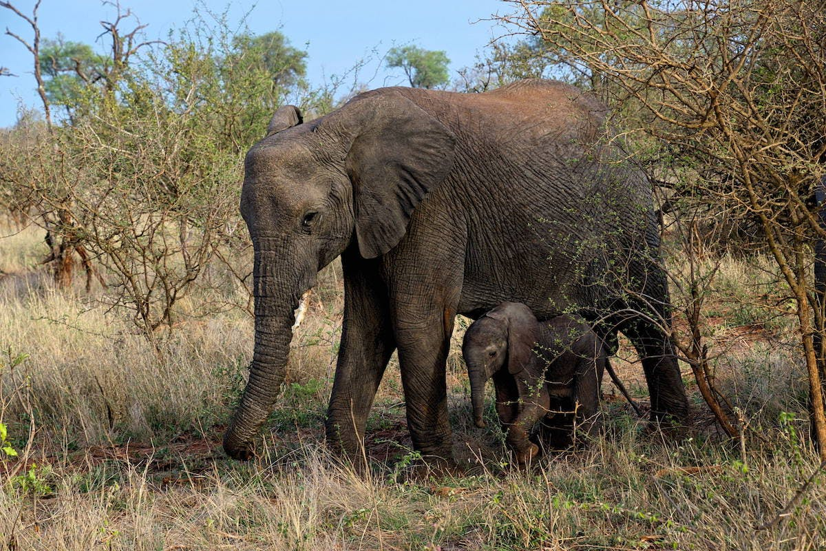 A mother elephant and her baby in open savanna woodland