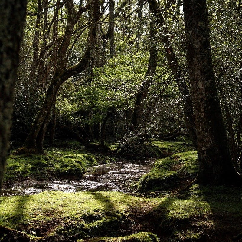 A dense, ancient, tranquil forest with a stream running through it.