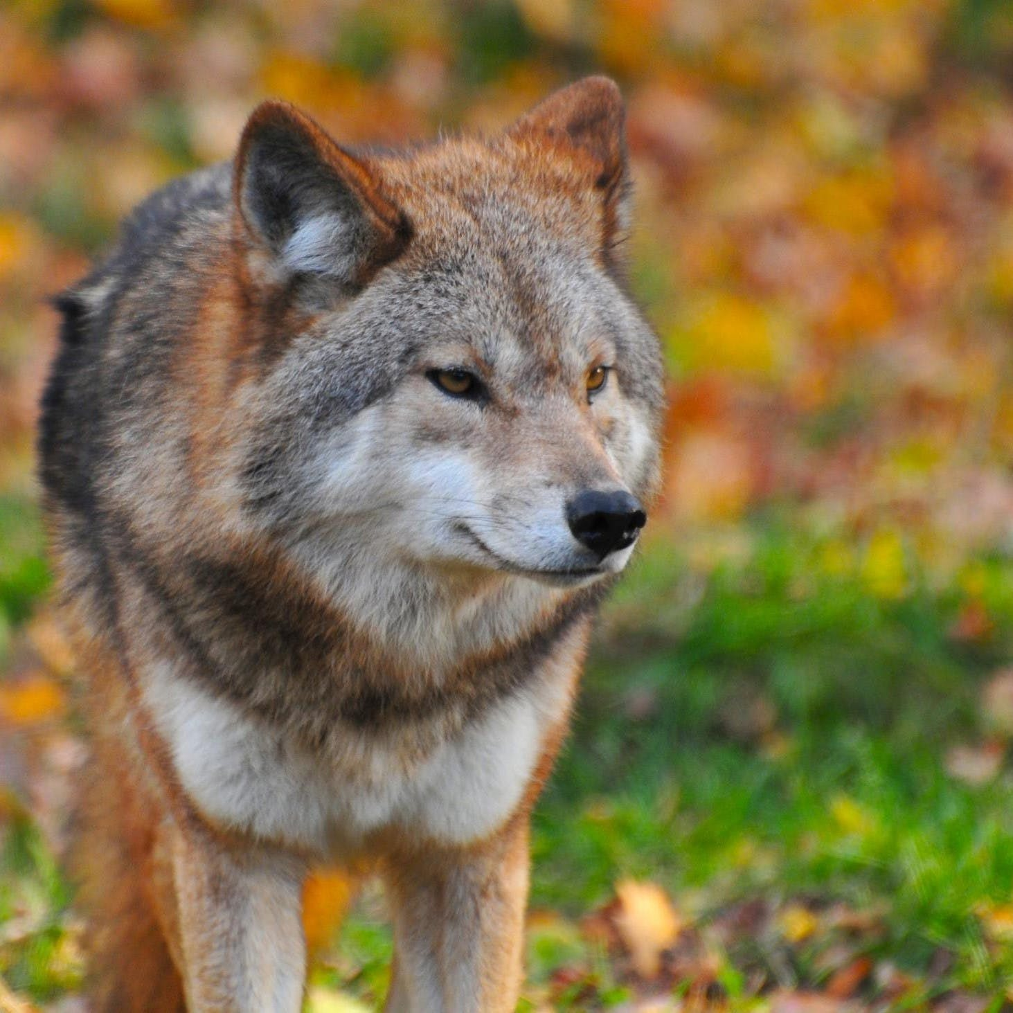 A wolf in a forest staring into the distance. Tracking wolves is a popular pursuit in nature based tourism.
