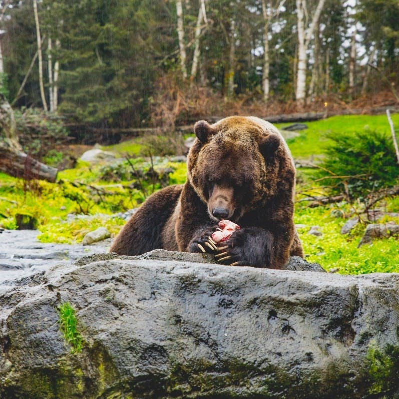 A brown bear eating some mushrooms on a rock in a forest.
