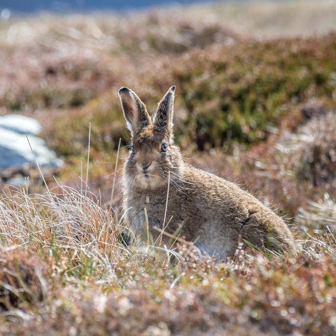 A Mountain hare in its summer coat at the Scottish highlands. Mossy Earth's rewilding project to translocate mountain hares will help the local population and provide much needed data about this priority species.