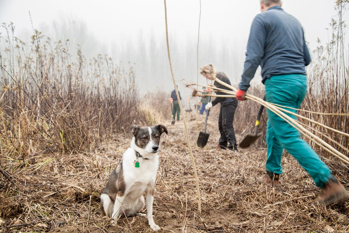 A dog sits in the middle of the planting area as the team dig holes and carry saplings