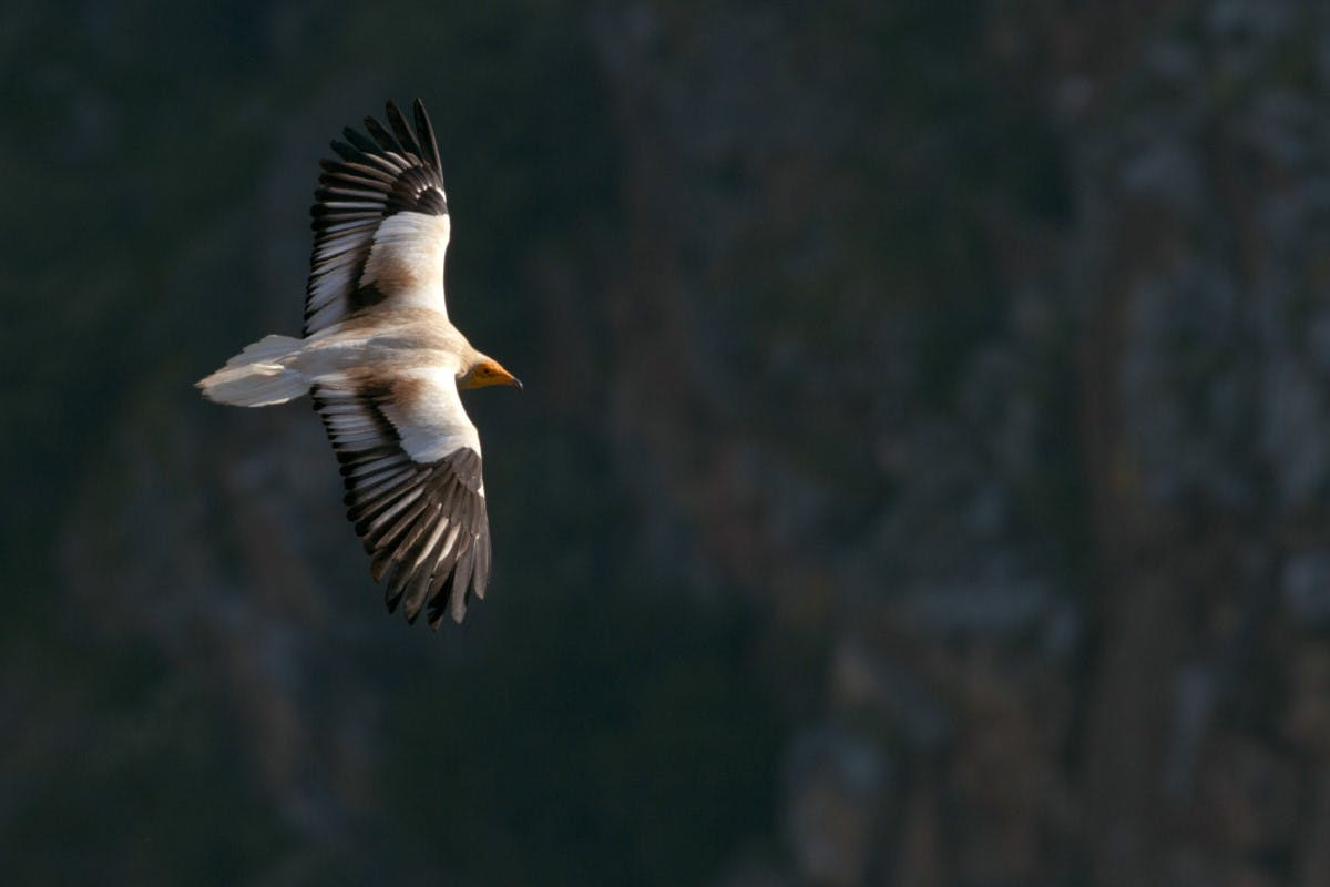 An Egyptian vulture soaring over the douro valley.