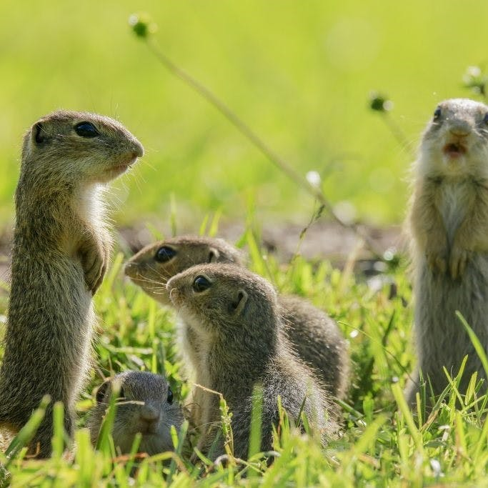 Ground Squirrels in Slovakia
