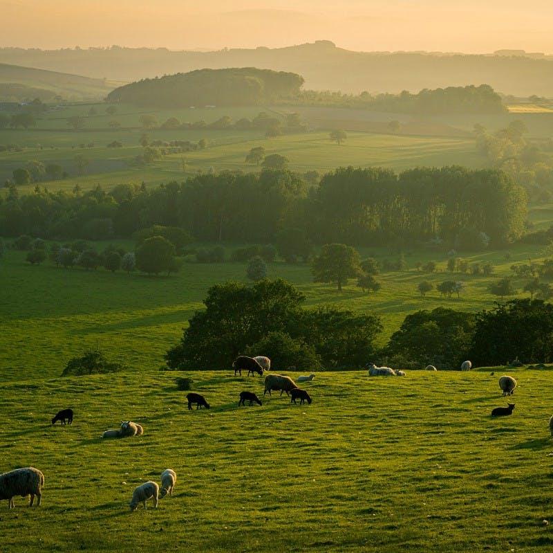 Livestock graze open fields