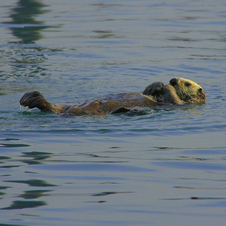 A sea otter resting in the water at Elkhorn Slough, the location of Mossy Earth's rewilding project to restore their populations.