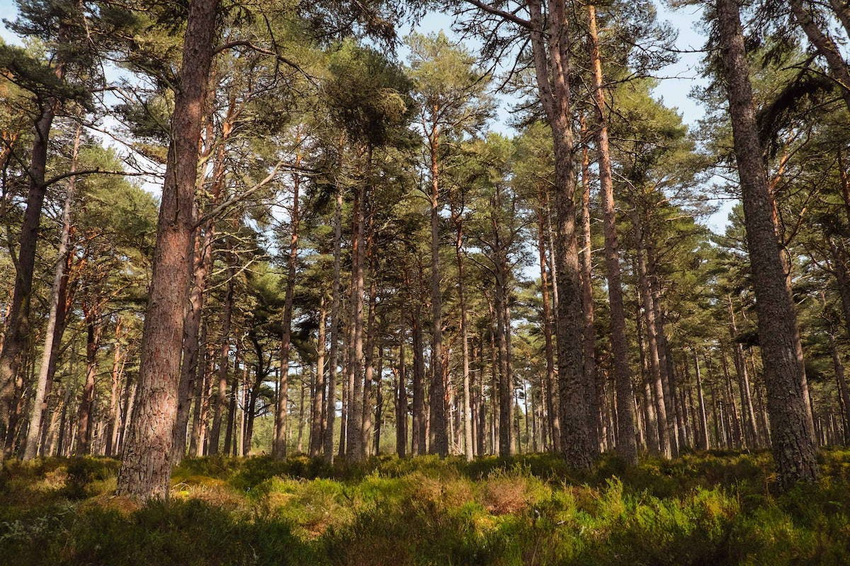 The understory of a Scottish pinewood and a glimpse of what the great Caledonian forest would have looked like.
