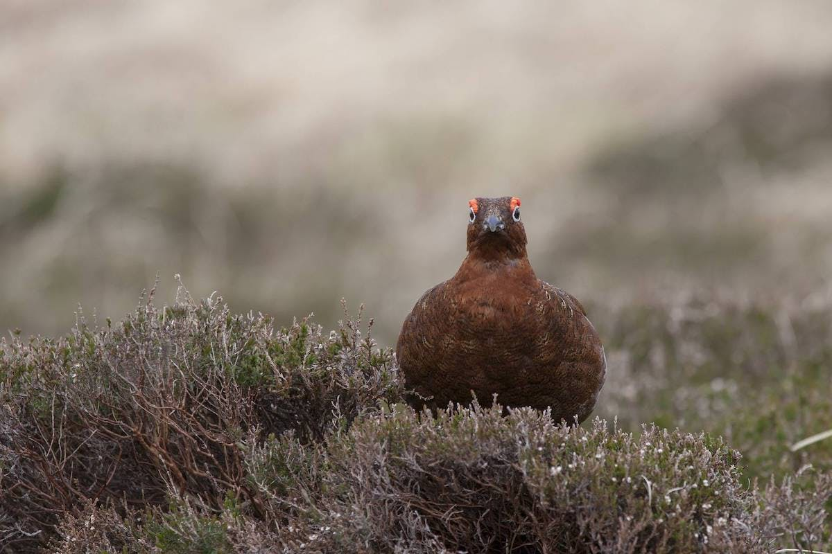A red grouse sits in a heather shrub. Scottish mountain hares have traditionally been culled on sporting estates