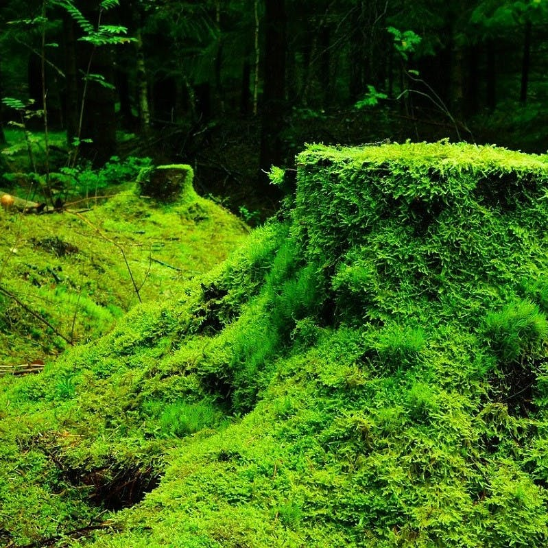 Moss covered earth in a forest.