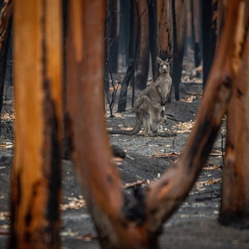 A Kangaroo is seen among the charred remains of an Australian forest.
