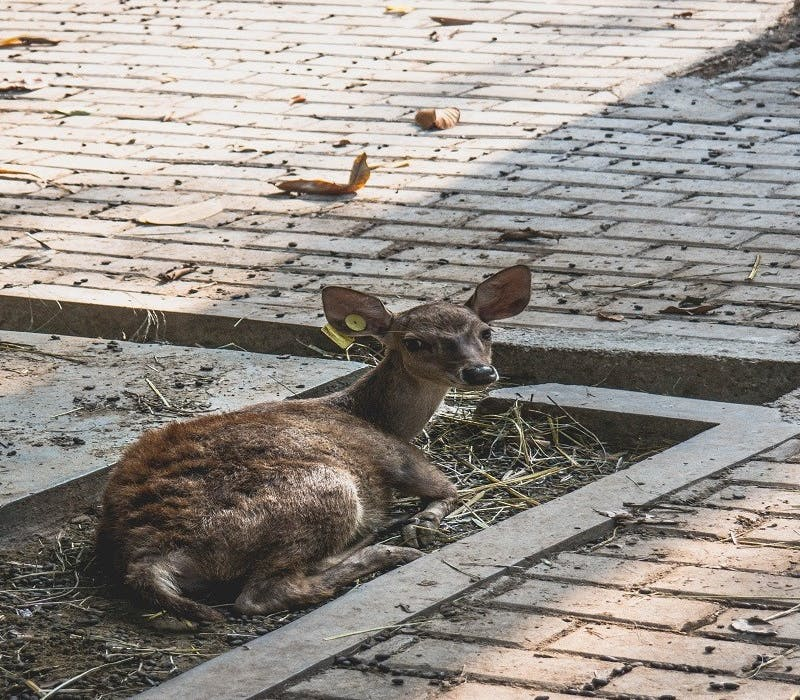 A deer sits on a small patch of dirt surrounded by concrete paving. Habitat fragmentation disconnects wild areas and therefore disrupts animals natural behaviours.