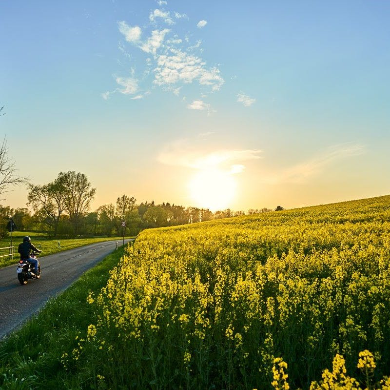 The sun setting over a rapeseed field next to a road with a motorcyclist. Such fields are veritable supermarkets where the wild boar can gorge